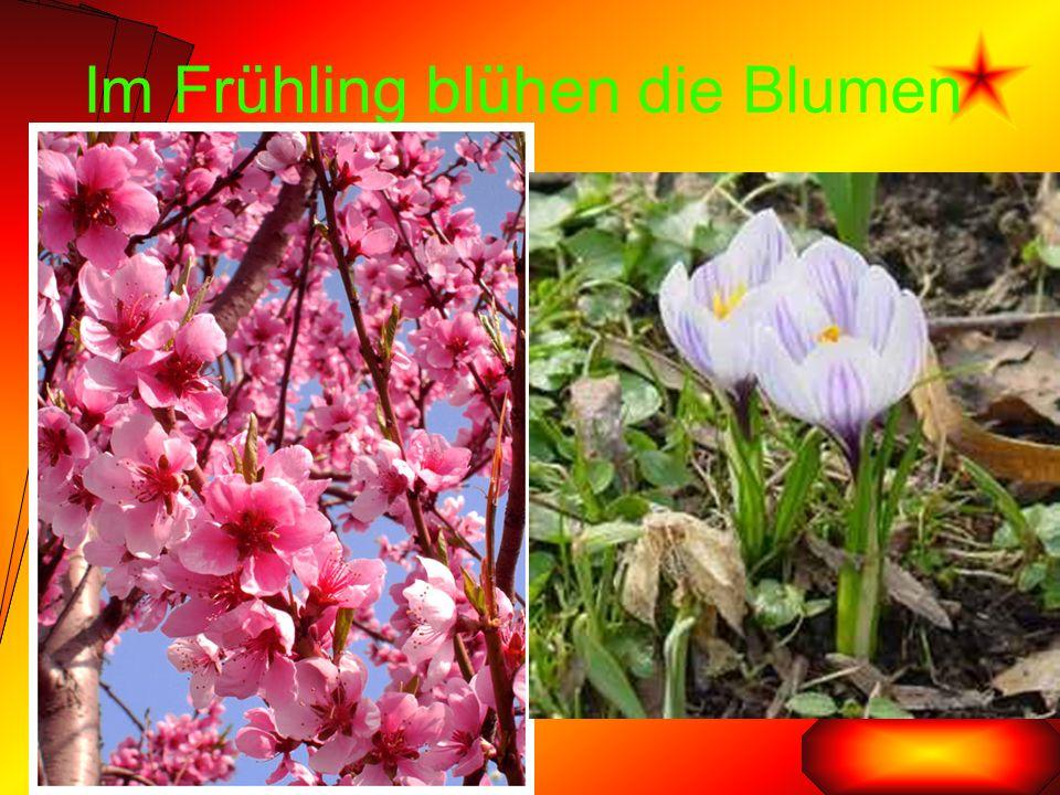 Im Frühling blühen die Blumen