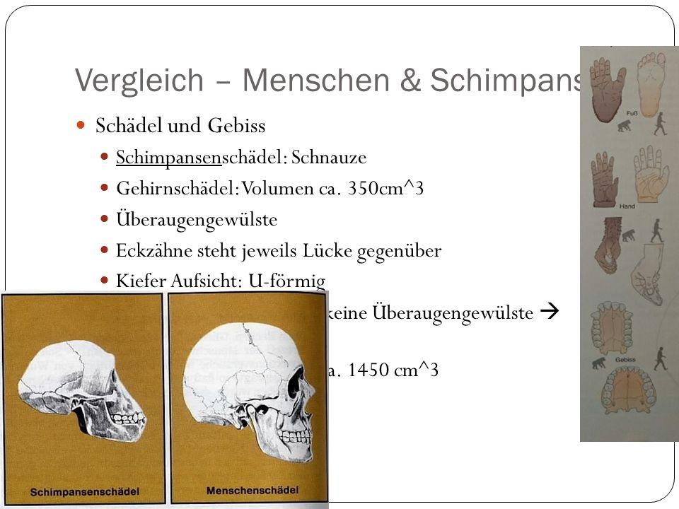 Vergleich – Menschen & Schimpansen Schädel und Gebiss Schimpansenschädel: Schnauze Gehirnschädel: Volumen ca.