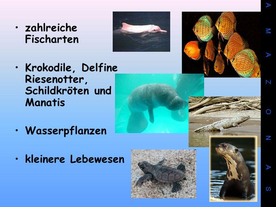 zahlreiche Fischarten Krokodile, Delfine Riesenotter, Schildkröten und Manatis Wasserpflanzen kleinere Lebewesen A M A Z O N A S