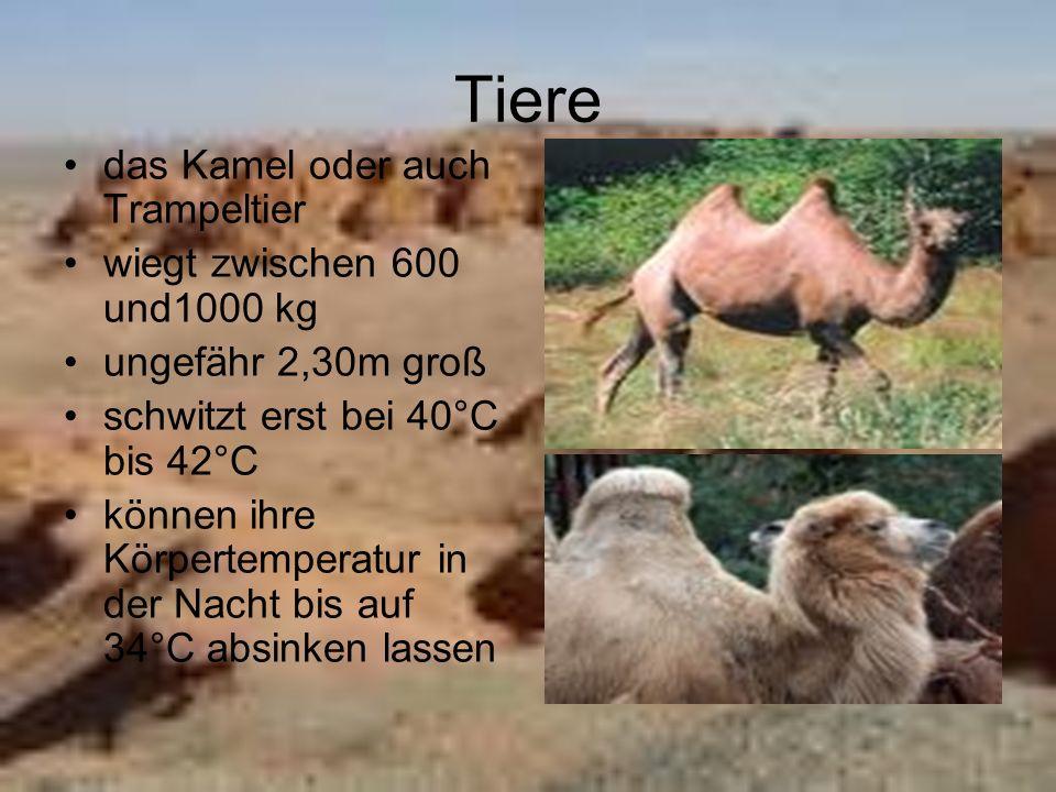 Tiere das Kamel oder auch Trampeltier wiegt zwischen 600 und1000 kg ungefähr 2,30m groß schwitzt erst bei 40°C bis 42°C können ihre Körpertemperatur i