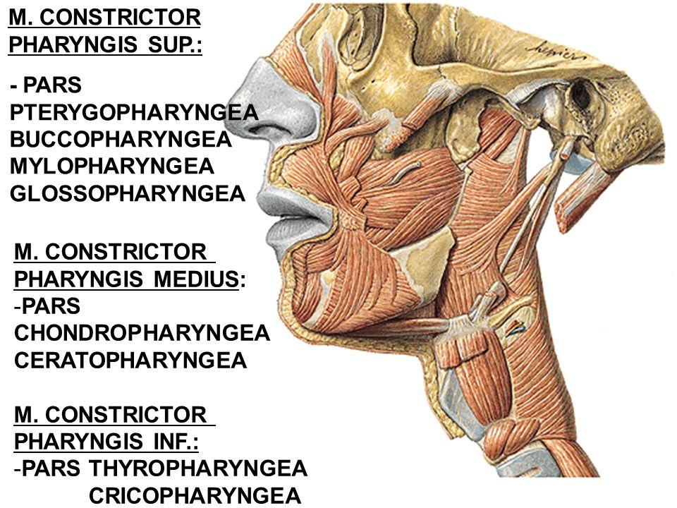 - PARS PTERYGOPHARYNGEA BUCCOPHARYNGEA MYLOPHARYNGEA GLOSSOPHARYNGEA M. CONSTRICTOR PHARYNGIS SUP.: M. CONSTRICTOR PHARYNGIS MEDIUS: -PARS CHONDROPHAR