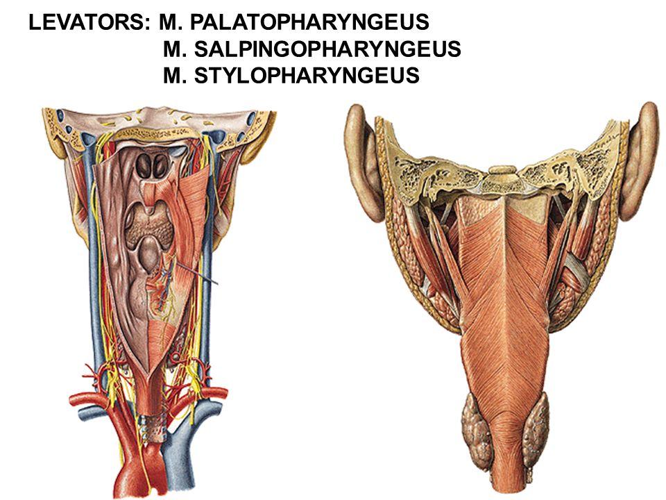 LEVATORS: M. PALATOPHARYNGEUS M. SALPINGOPHARYNGEUS M. STYLOPHARYNGEUS