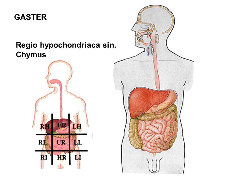 GASTER Regio hypochondriaca sin. Chymus