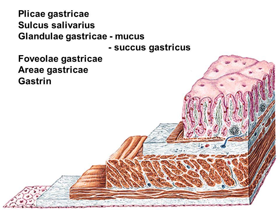 Plicae gastricae Sulcus salivarius Glandulae gastricae - mucus - succus gastricus Foveolae gastricae Areae gastricae Gastrin