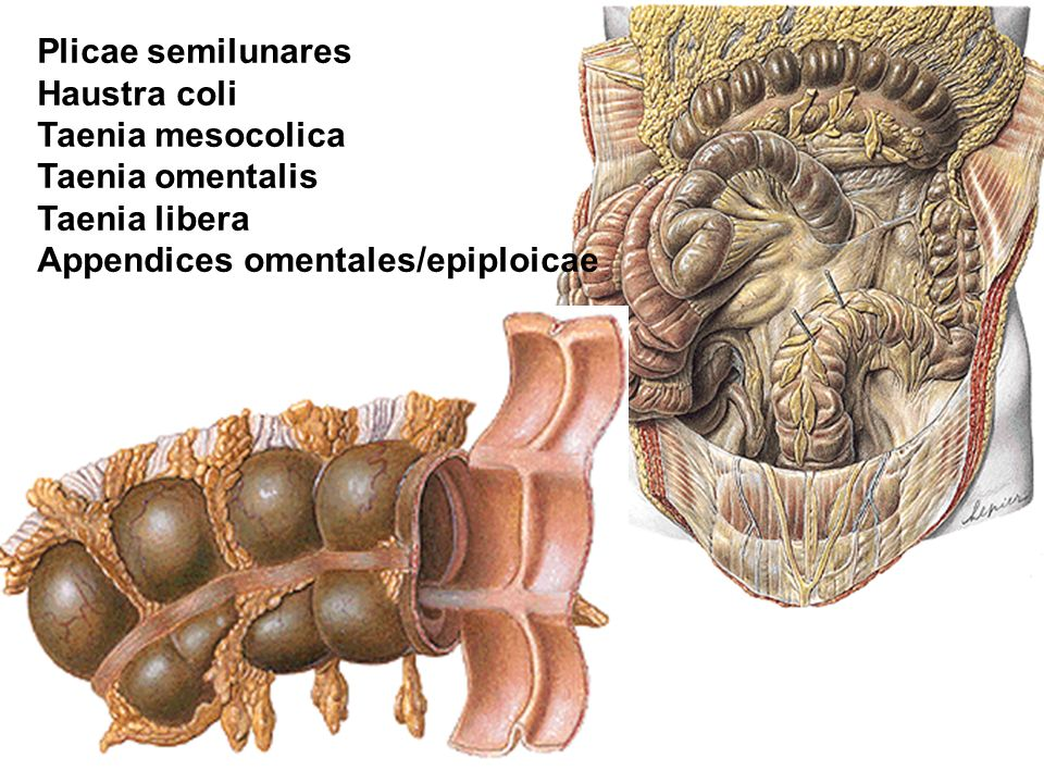 Plicae semilunares Haustra coli Taenia mesocolica Taenia omentalis Taenia libera Appendices omentales/epiploicae