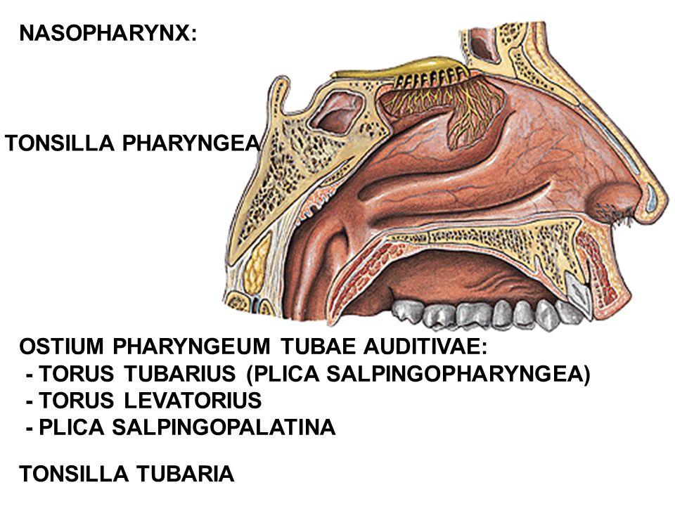 TONSILLA PHARYNGEA OSTIUM PHARYNGEUM TUBAE AUDITIVAE: - TORUS TUBARIUS (PLICA SALPINGOPHARYNGEA) - TORUS LEVATORIUS - PLICA SALPINGOPALATINA TONSILLA