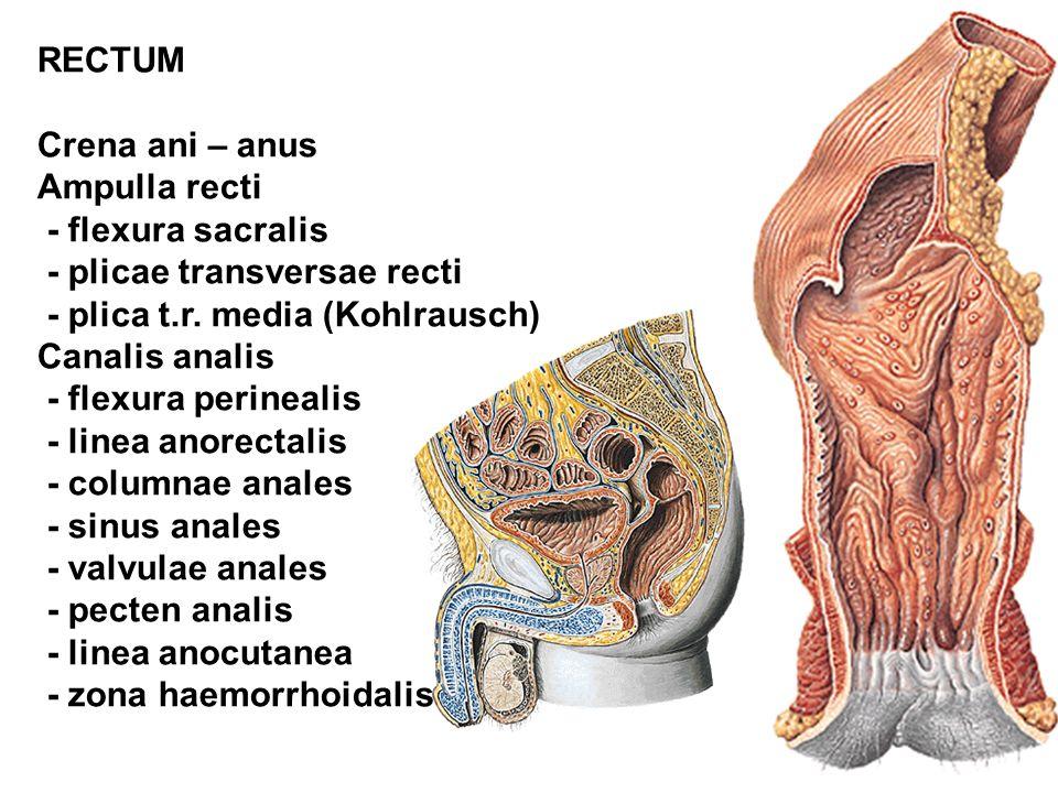 RECTUM Crena ani – anus Ampulla recti - flexura sacralis - plicae transversae recti - plica t.r. media (Kohlrausch) Canalis analis - flexura perineali