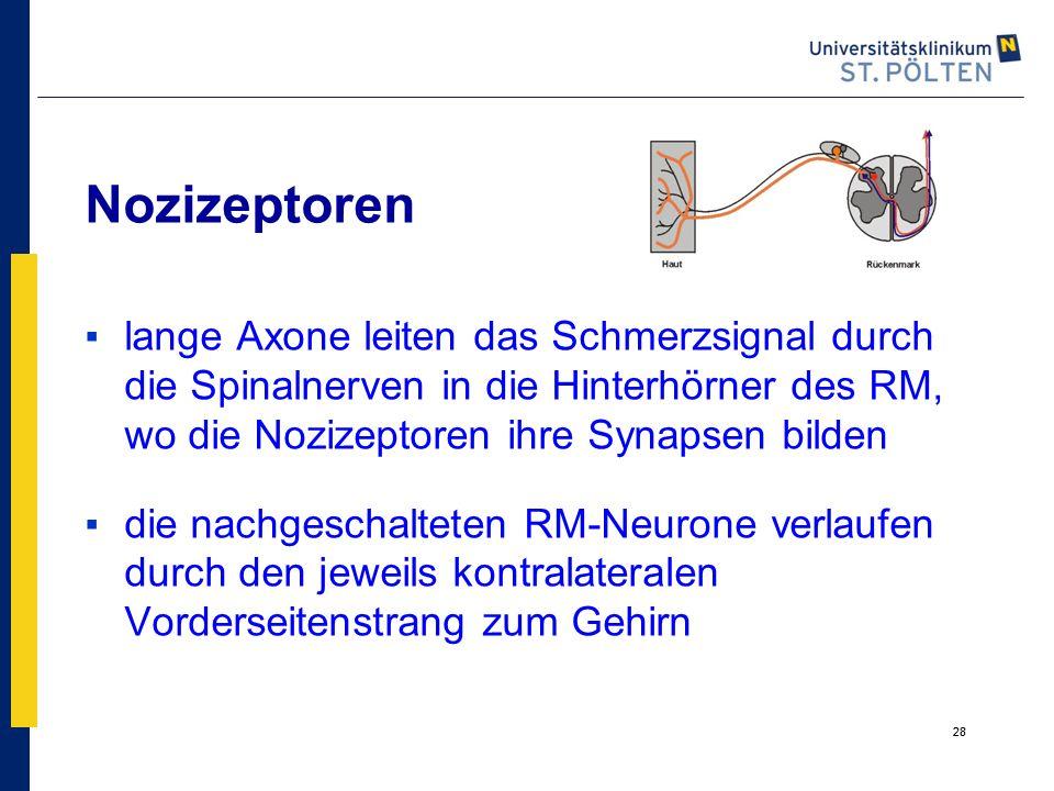 28 ▪lange Axone leiten das Schmerzsignal durch die Spinalnerven in die Hinterhörner des RM, wo die Nozizeptoren ihre Synapsen bilden ▪die nachgeschalt