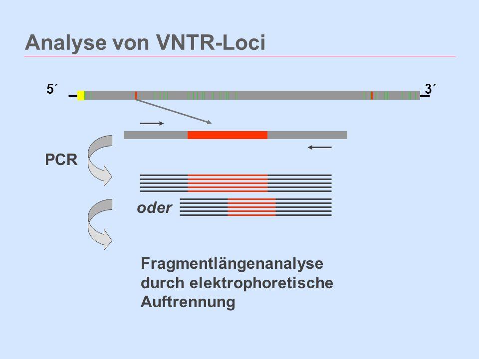 Analyse von VNTR-Loci 5´3´ PCR Fragmentlängenanalyse durch elektrophoretische Auftrennung oder