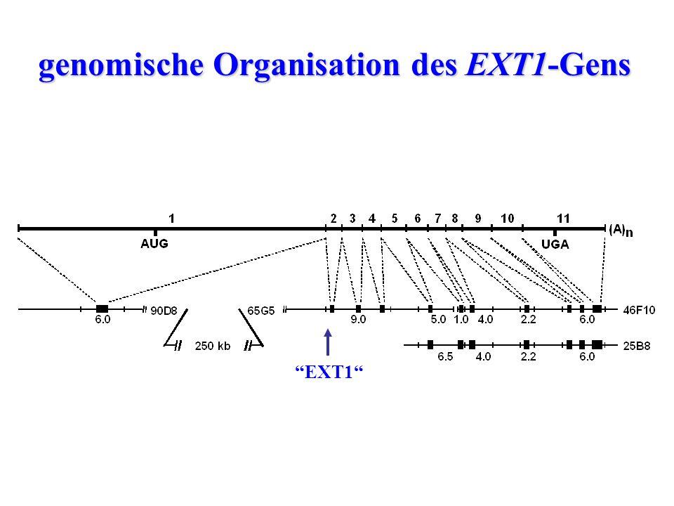 """genomische Organisation des EXT1-Gens """"EXT1"""""""