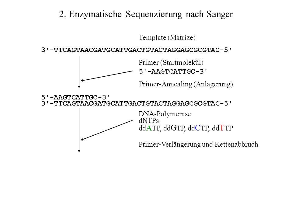 2. Enzymatische Sequenzierung nach Sanger Template (Matrize) 3'-TTCAGTAACGATGCATTGACTGTACTAGGAGCGCGTAC-5' Primer (Startmolekül) 5'-AAGTCATTGC-3' 3'-TT