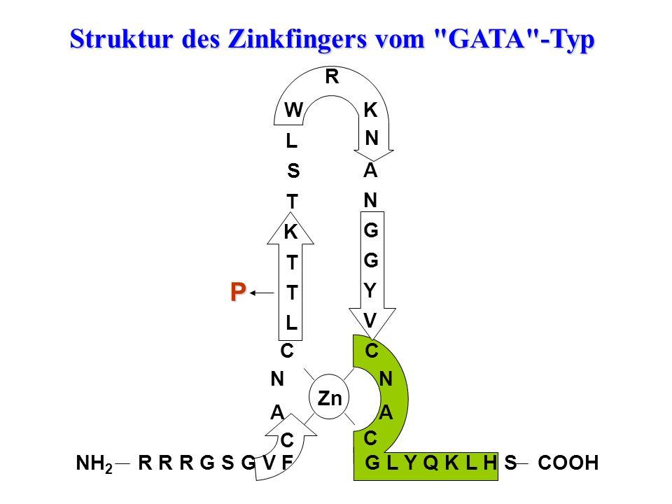 R R R G S G V F C A N C L T T K T S L W R K N A N G G Y V C N A C G L Y Q K L H S Zn P NH 2 COOH Struktur des Zinkfingers vom GATA -Typ