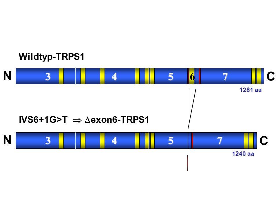 3 4 5 67 N C IVS6+1G>T   exon6-TRPS1 3 4 5 7 N C 1281 aa 1240 aa Wildtyp-TRPS1