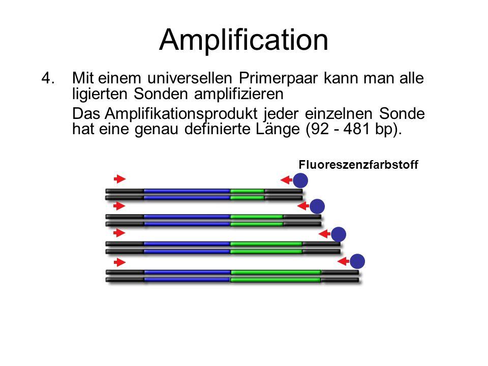 Amplification 4.Mit einem universellen Primerpaar kann man alle ligierten Sonden amplifizieren Das Amplifikationsprodukt jeder einzelnen Sonde hat ein