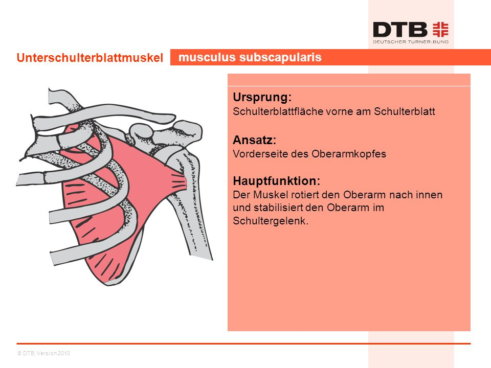 © DTB, Version 2010 Unterschulterblattmuskel musculus subscapularis Ursprung: Schulterblattfläche vorne am Schulterblatt Ansatz: Vorderseite des Obera