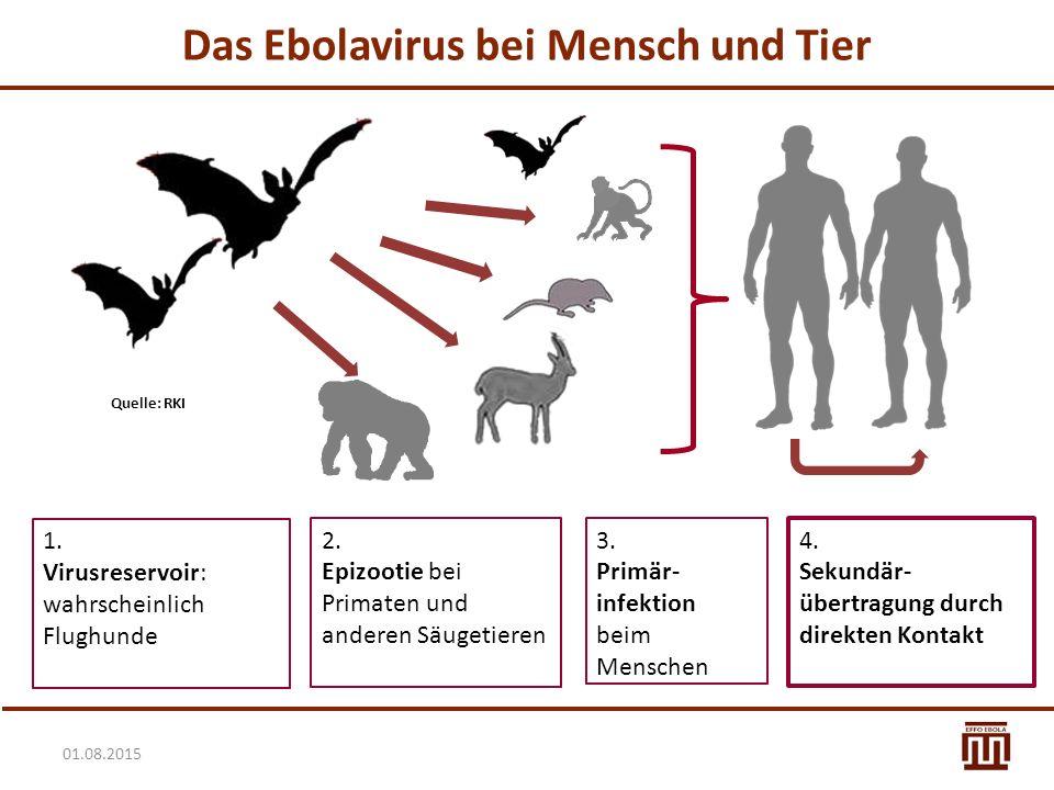 01.08.2015 Das Ebolavirus bei Mensch und Tier 1. Virusreservoir: wahrscheinlich Flughunde 2. Epizootie bei Primaten und anderen Säugetieren 3. Primär-