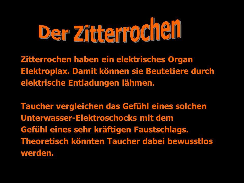 Zitterrochen haben ein elektrisches Organ Elektroplax. Damit können sie Beutetiere durch elektrische Entladungen lähmen. Taucher vergleichen das Gefüh