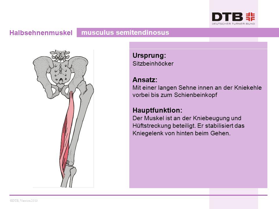 ©DTB, Version 2010 Halbsehnenmuskel musculus semitendinosus Ursprung: Sitzbeinhöcker Ansatz: Mit einer langen Sehne innen an der Kniekehle vorbei bis zum Schienbeinkopf Hauptfunktion: Der Muskel ist an der Kniebeugung und Hüftstreckung beteiligt.
