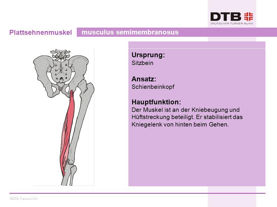 ©DTB, Version 2010 Plattsehnenmuskel musculus semimembranosus Ursprung: Sitzbein Ansatz: Schienbeinkopf Hauptfunktion: Der Muskel ist an der Kniebeugung und Hüftstreckung beteiligt.
