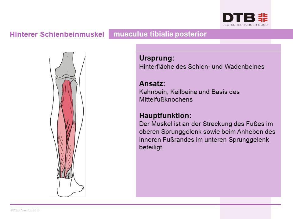 ©DTB, Version 2010 Hinterer Schienbeinmuskel musculus tibialis posterior Ursprung: Hinterfläche des Schien- und Wadenbeines Ansatz: Kahnbein, Keilbein