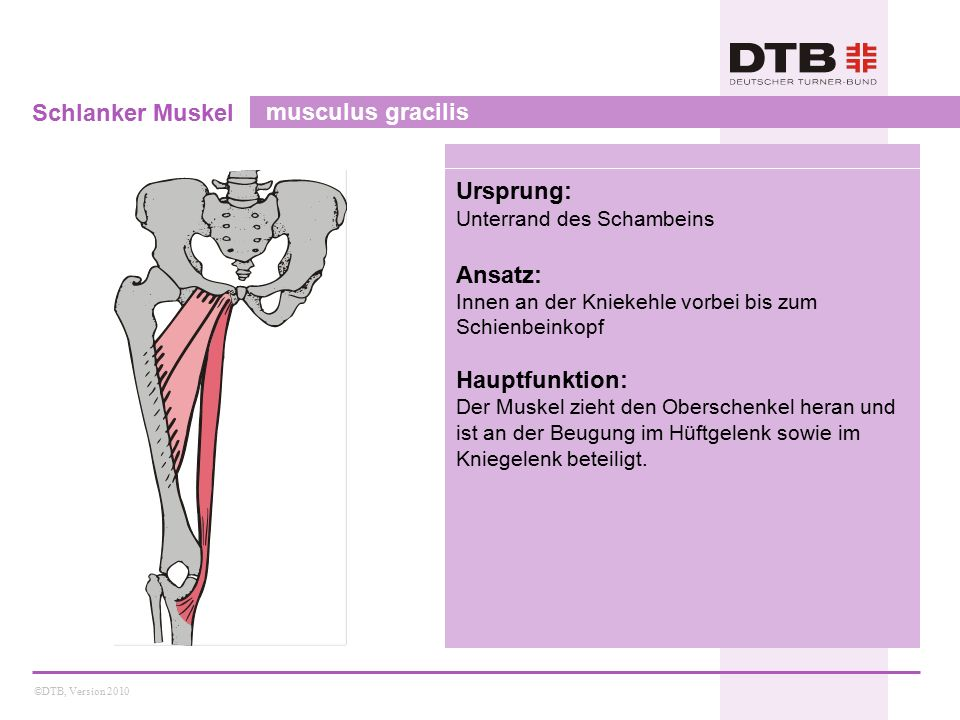 ©DTB, Version 2010 Schlanker Muskel musculus gracilis Ursprung: Unterrand des Schambeins Ansatz: Innen an der Kniekehle vorbei bis zum Schienbeinkopf Hauptfunktion: Der Muskel zieht den Oberschenkel heran und ist an der Beugung im Hüftgelenk sowie im Kniegelenk beteiligt.