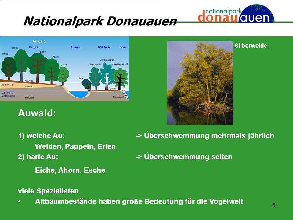 3 Nationalpark Donauauen Auwald: 1) weiche Au:-> Überschwemmung mehrmals jährlich Weiden, Pappeln, Erlen 2) harte Au:-> Überschwemmung selten Eiche, A