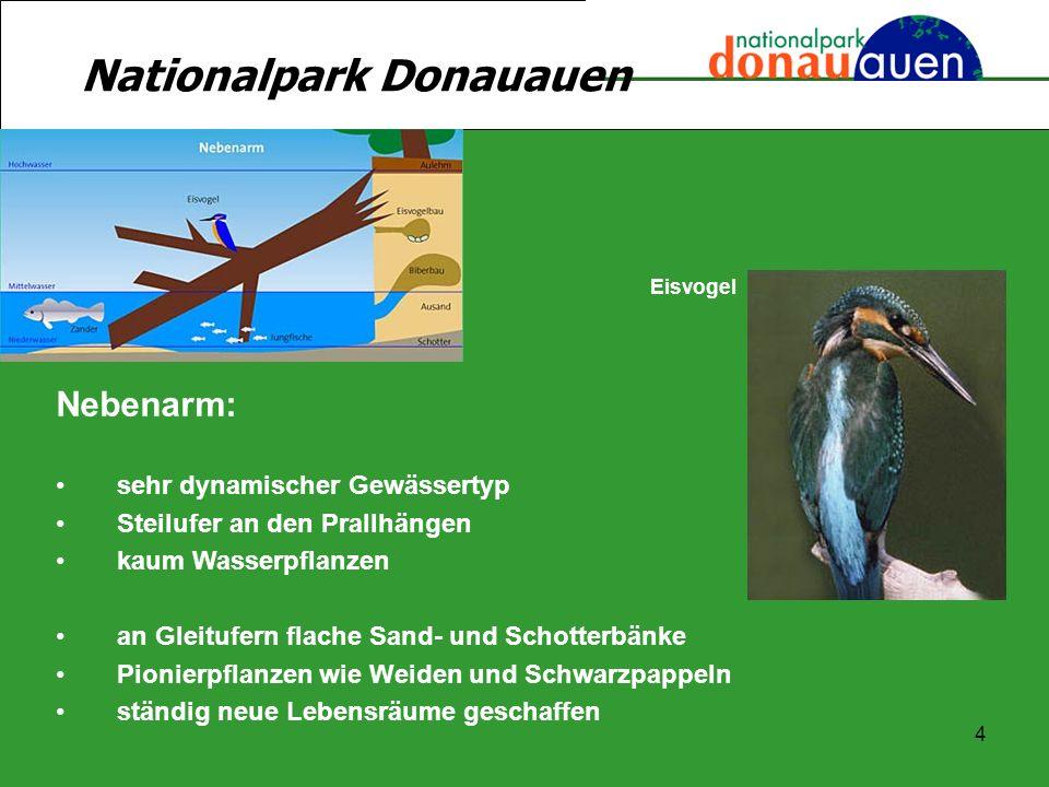 4 Nationalpark Donauauen Nebenarm: sehr dynamischer Gewässertyp Steilufer an den Prallhängen kaum Wasserpflanzen an Gleitufern flache Sand- und Schott