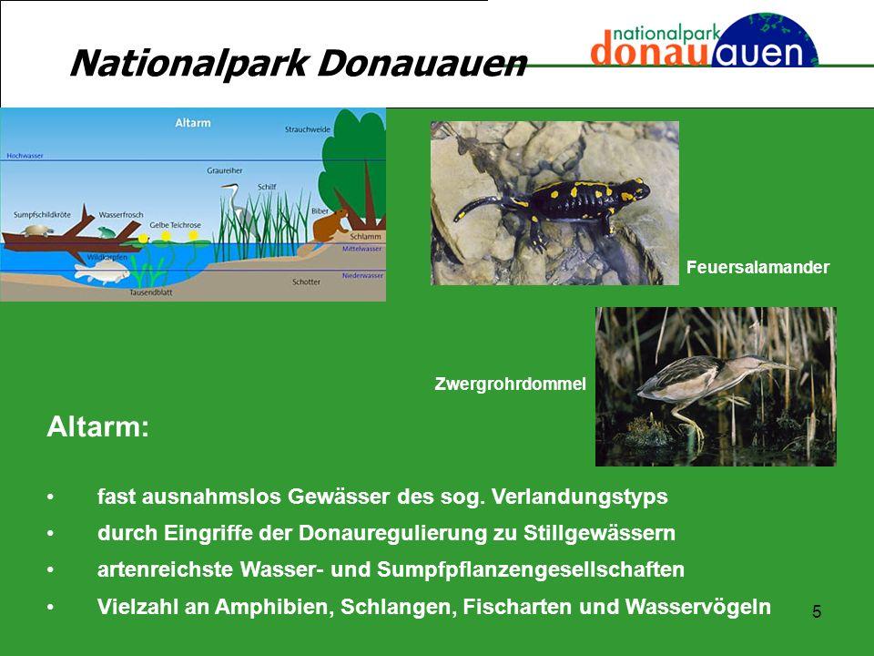 5 Nationalpark Donauauen Altarm: fast ausnahmslos Gewässer des sog. Verlandungstyps durch Eingriffe der Donauregulierung zu Stillgewässern artenreichs