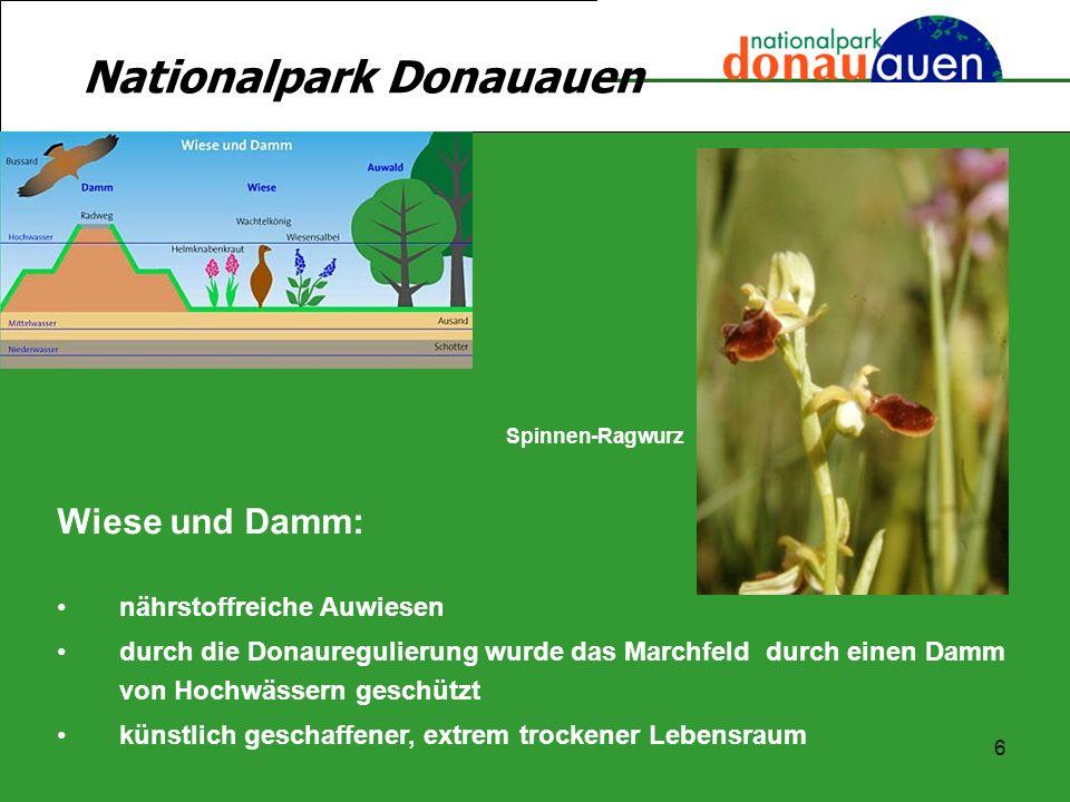 6 Nationalpark Donauauen Wiese und Damm: nährstoffreiche Auwiesen durch die Donauregulierung wurde das Marchfeld durch einen Damm von Hochwässern gesc