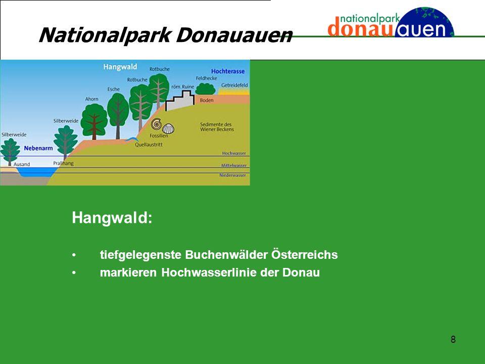 8 Hangwald: tiefgelegenste Buchenwälder Österreichs markieren Hochwasserlinie der Donau Nationalpark Donauauen
