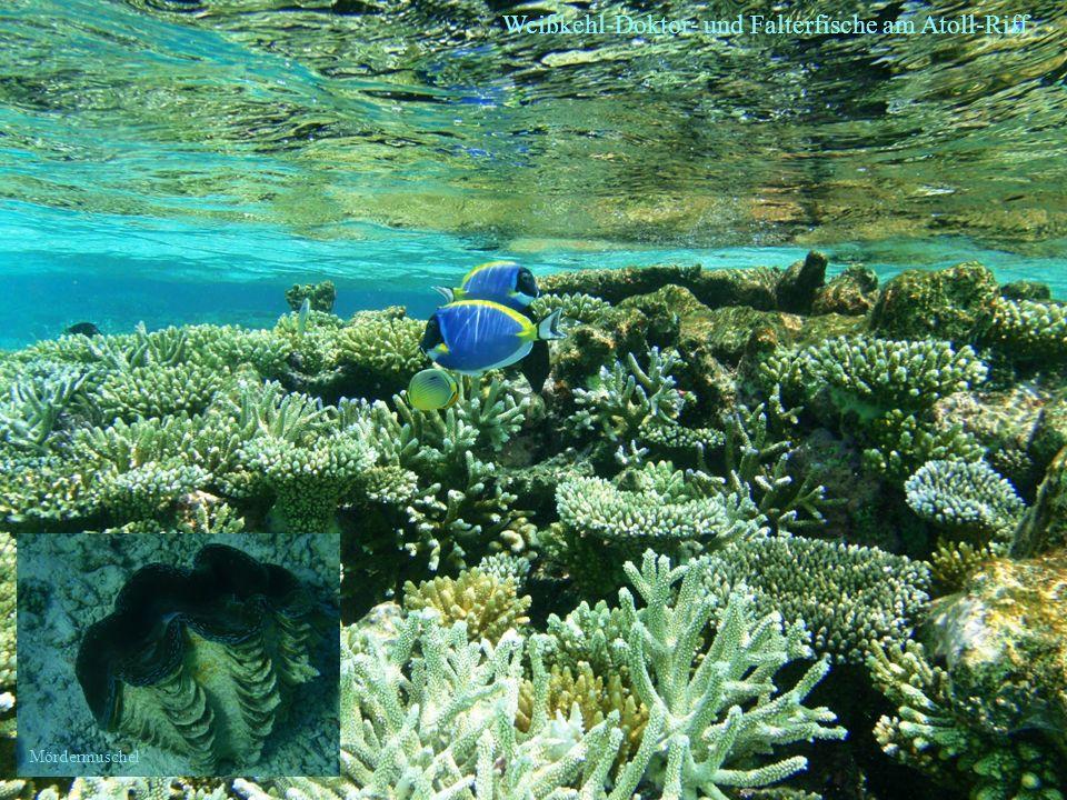 Weißkehl-Doktor- und Falterfische am Atoll-Riff Mördermuschel