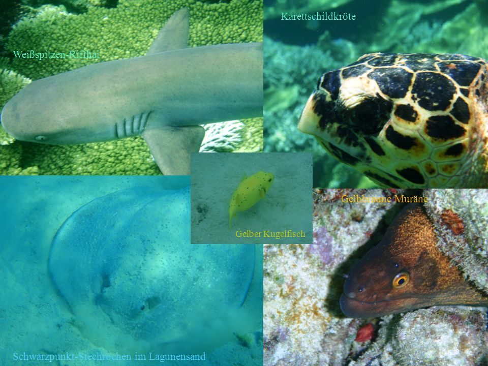 Schwarzpunkt-Stechrochen im Lagunensand Gelbbraune Muräne Karettschildkröte Weißspitzen-Riffhai Gelber Kugelfisch