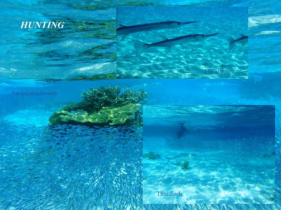 Hornhechte Thunfisch Sardellenschwarm HUNTING