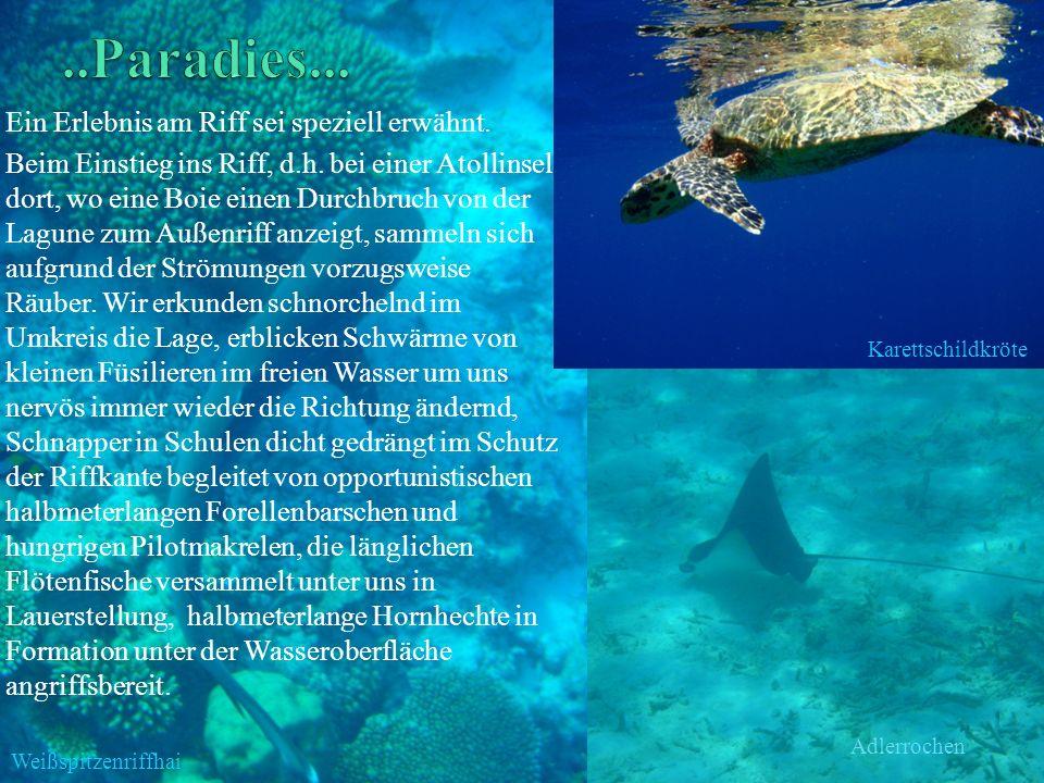 Ein Erlebnis am Riff sei speziell erwähnt. Beim Einstieg ins Riff, d.h. bei einer Atollinsel dort, wo eine Boie einen Durchbruch von der Lagune zum Au
