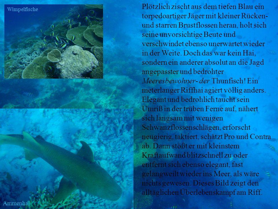Ammenhai Plötzlich zischt aus dem tiefen Blau ein torpedoartiger Jäger mit kleiner Rücken- und starren Brustflossen heran, holt sich seine unvorsichti