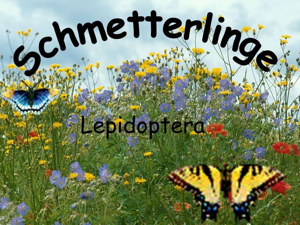 Schmetterlinge Allgemein Stamm: Gliederfüßer Klasse: Insekten Weltweit etwa 150000 verschiedene Arten von Schmetterlingen davon etwa 3600 in Mitteleuropa Flügelspannweite: ca.4-120 mm Schmetterlinge sind vierflügelig Ihre Fühler können verschiedenartig gebaut sein Schmetterlinge sind auf der ganzen Welt zuhause Ernährung  Blütenstaub, Kot der Vögel, verfaulte Pilzen