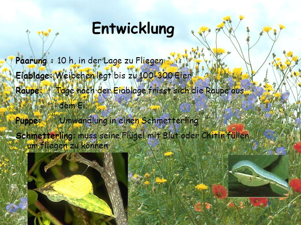 Entwicklung Paarung : 10 h, in der Lage zu Fliegen Eiablage: Weibchen legt bis zu 100-300 Eier Raupe: Tage nach der Eiablage frisst sich die Raupe aus