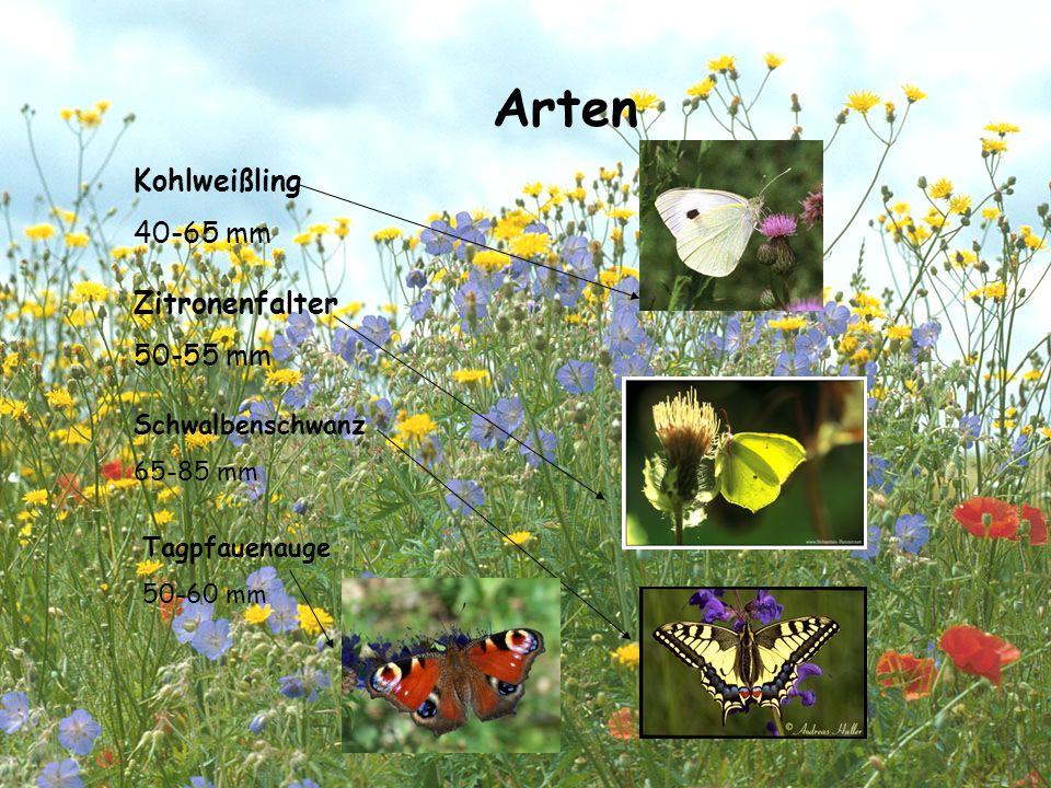 Der Schwalbenschwanz GGrößter und schönster Schmetterling in Europa  Flügel hellgelb mit schwarzen punkten.