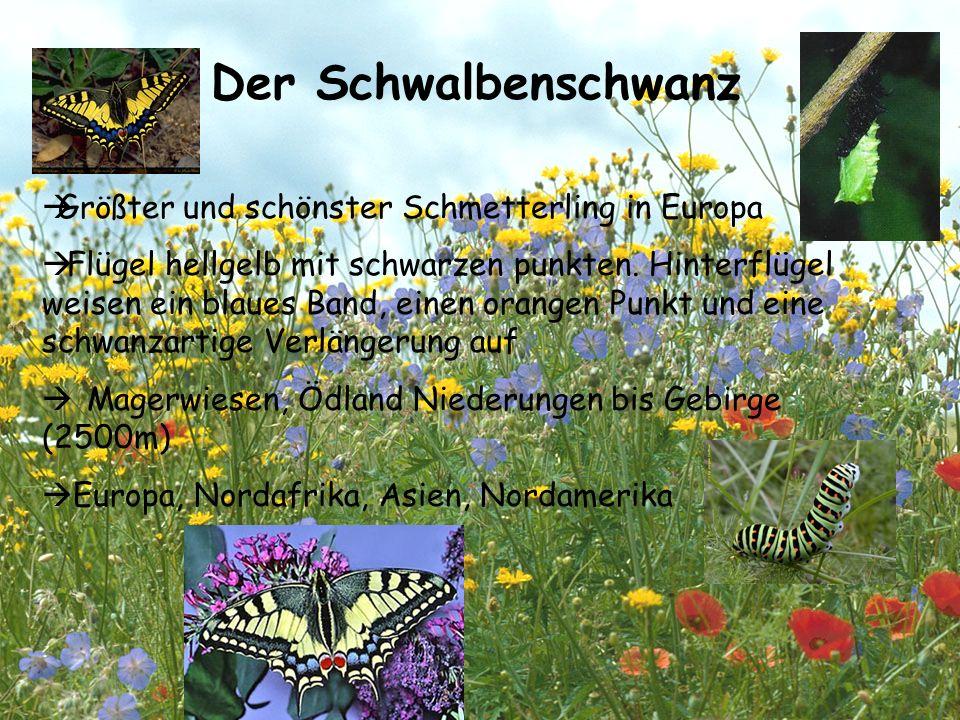Der Schwalbenschwanz GGrößter und schönster Schmetterling in Europa  Flügel hellgelb mit schwarzen punkten. Hinterflügel weisen ein blaues Band, ei