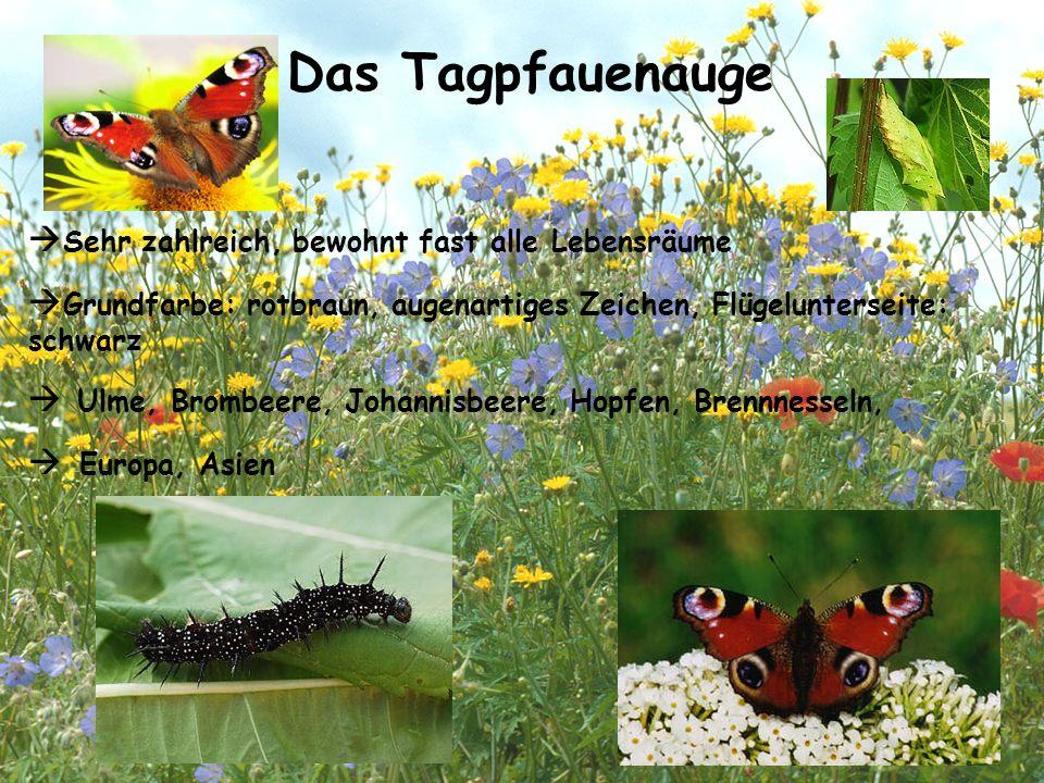 Das Tagpfauenauge  Sehr zahlreich, bewohnt fast alle Lebensräume  Grundfarbe: rotbraun, augenartiges Zeichen, Flügelunterseite: schwarz  Ulme, Brom