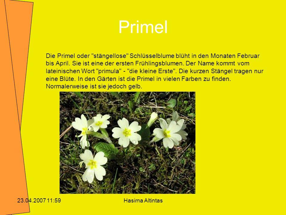 Hasima Altintas23.04.2007 11:59 Kuhschelle Die Kuhschelle hat glockenförmige (schellenförmige), blauviolette Blüten.