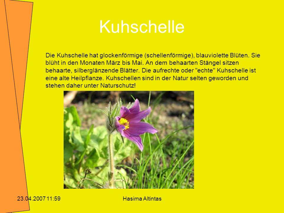 Hasima Altintas23.04.2007 11:59 Kuhschelle Die Kuhschelle hat glockenförmige (schellenförmige), blauviolette Blüten. Sie blüht in den Monaten März bis