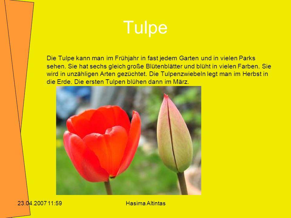 Hasima Altintas23.04.2007 11:59 Tulpe Die Tulpe kann man im Frühjahr in fast jedem Garten und in vielen Parks sehen. Sie hat sechs gleich große Blüten