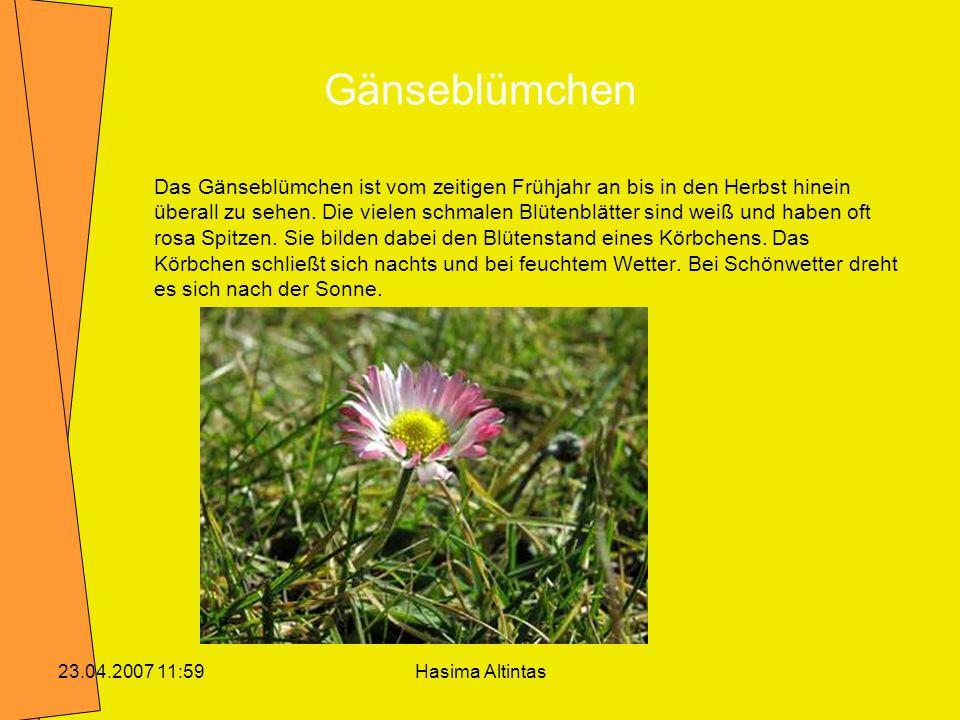 Hasima Altintas23.04.2007 11:59 Gänseblümchen Das Gänseblümchen ist vom zeitigen Frühjahr an bis in den Herbst hinein überall zu sehen. Die vielen sch