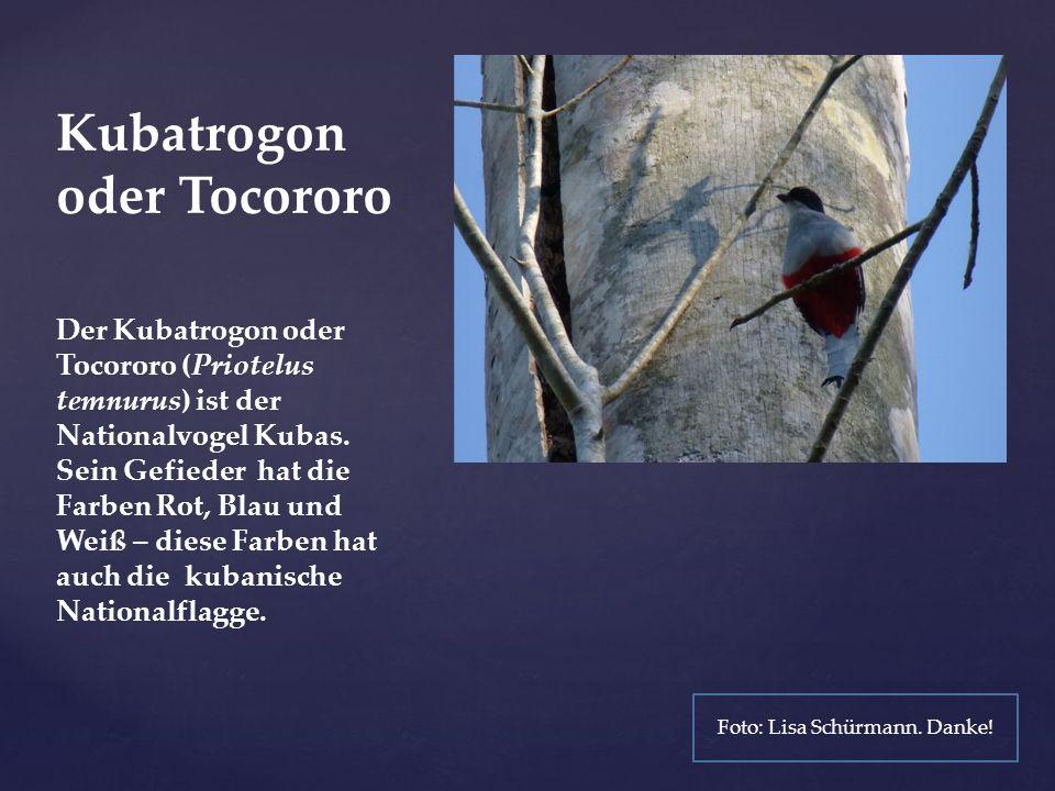Kubatrogon oder Tocororo Der Kubatrogon oder Tocororo (Priotelus temnurus) ist der Nationalvogel Kubas.