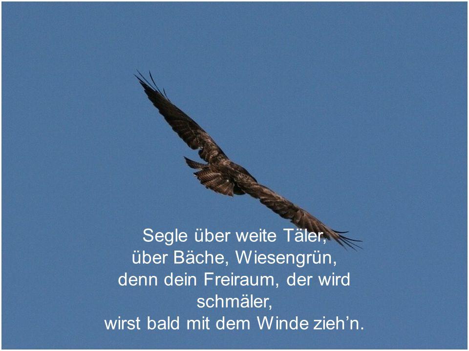 Flieg mit deinen breiten Flügeln, über Wolken weit hinaus, fliege über steile Hügeln, denn dort bist du ja zu Haus.
