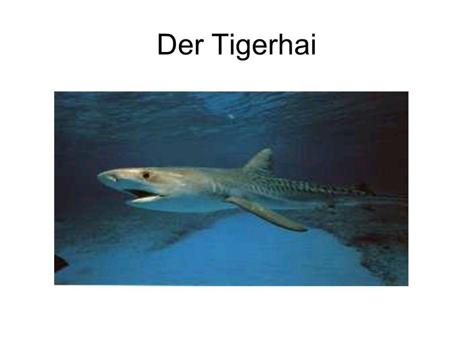 Größe und Alter Die Größe des Tigerhais ist mit der des weißen Hais (Carcharodon carcharias) vergleichbar.