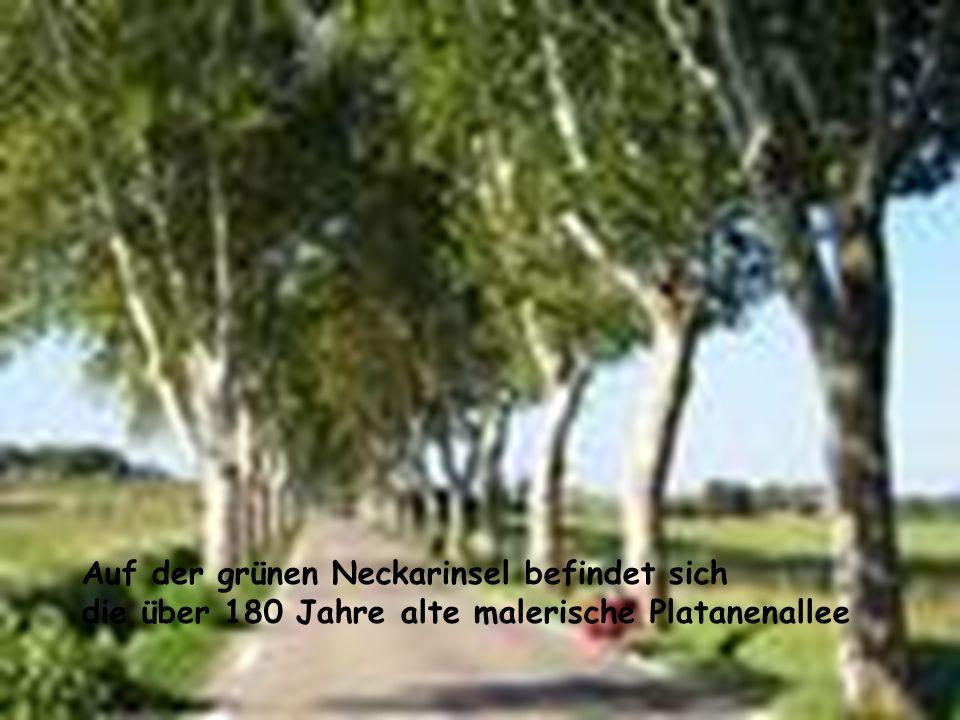 Auf der grünen Neckarinsel befindet sich die über 180 Jahre alte malerische Platanenallee