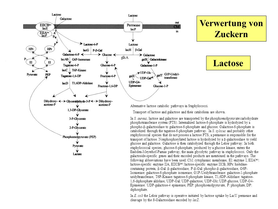 Alternative lactose catabolic pathways in Staphylococci. Transport of lactose and galactose and their catabolism are shown. In S. aureus, lactose and