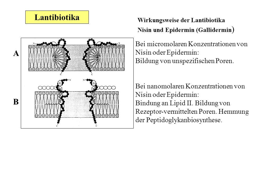 A B Wirkungsweise der Lantibiotika Nisin und Epidermin (Gallidermin ) Bei micromolaren Konzentrationen von Nisin oder Epidermin: Bildung von unspezifi